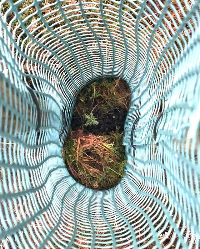 Looking down the barrel. Our baby junipers are thriving and we are looking forward to watching them grow and flourish in 2020. ⠀⠀⠀⠀⠀⠀⠀⠀⠀-------⠀⠀⠀⠀⠀⠀⠀⠀⠀#hepplegin #juniper #distillery #science #nature #balance #wild #botanicals #craft #harvesting #land #northumberland #hepple #local #environment #sustainability #green #juniper #ecofriendly - from Instagram